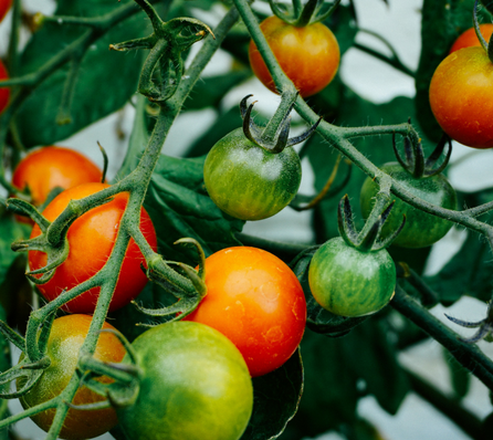 Why nightshade foods can be problematic