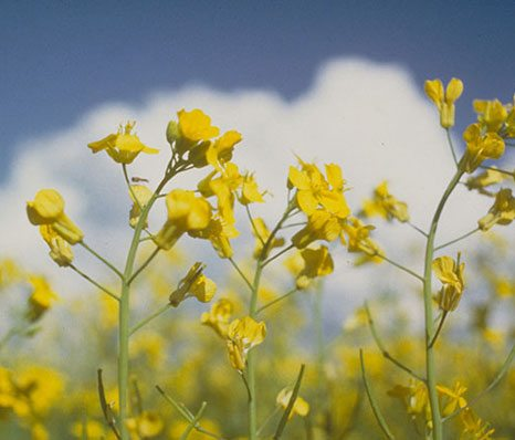 Do you know how Canola Oil is Made?
