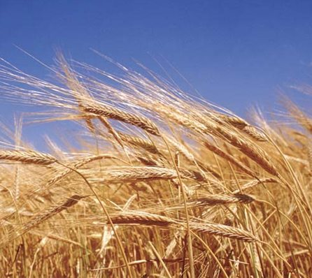 Why have we become so wheat and gluten sensitive?